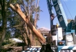 Removing a large tree with a crane.