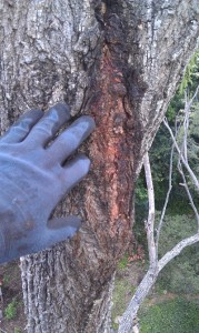 An Arborist can identify a myriad of diseases and treat them effectively.