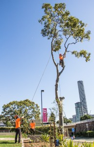 tree-removal-south-bank-brisbane-cbd