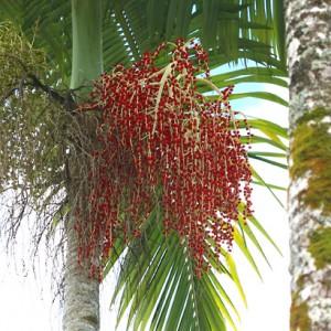 Archontophoenix-alex-palm-brisbane